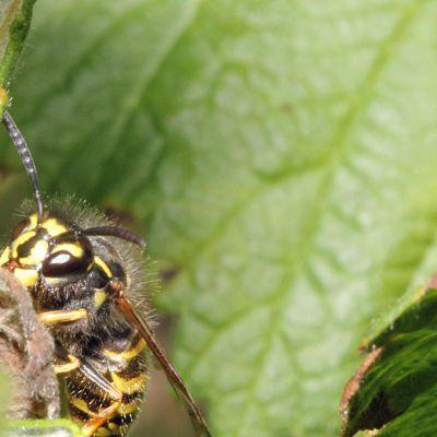 Kuvassa ampiainen kurkistaa vadelman lehden takaa.
