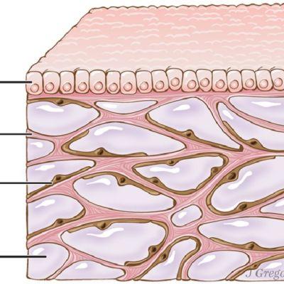 Piirretty läpileikkaus kudoksesta ihon pinnan alla.