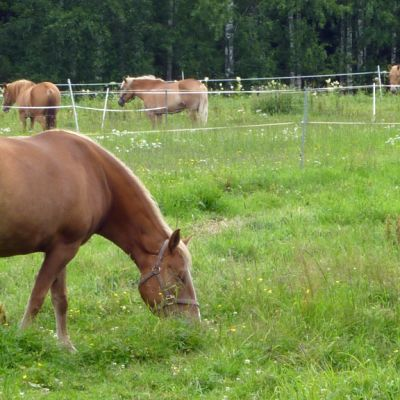 Suomenhevosia laitumella.