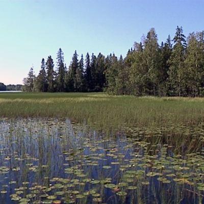 Rehevöitynyt järvi on lumpeiden peitossa.