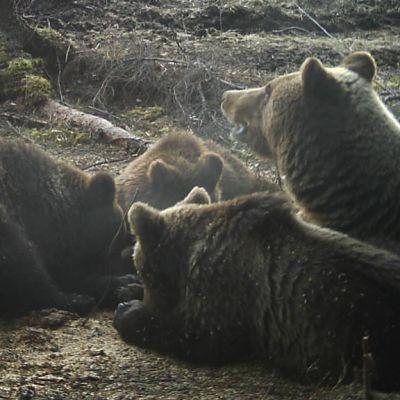 Karhuemo ja kolme pentua riistakameran kuvassa.