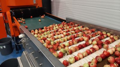 äpplen sorteras i ett lager.