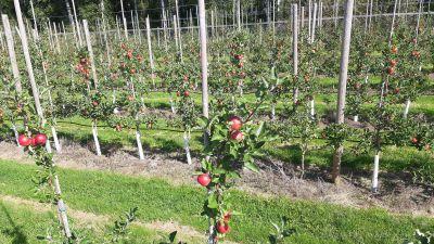 Röda äpplen i långa trädrader på en äppelodling.