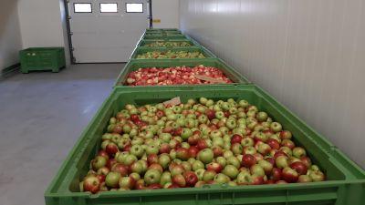 Äpplen lagras i stora gröna lårar i en lagerhall.
