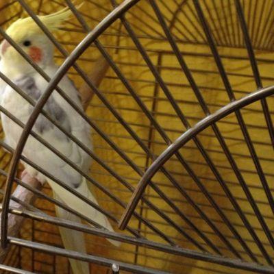 Papukaija häkissä