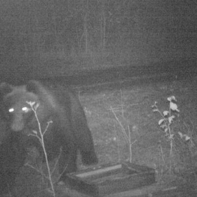 Karhu riistakamerassa.
