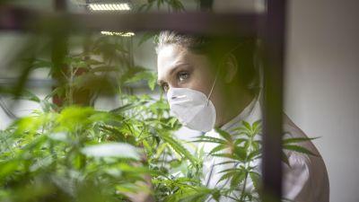 En kvinna i munskydd går inne i en cannabisodling och tittar på cannabisplantor.