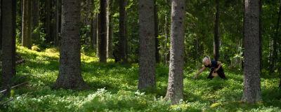 Tyttö poimii mustikoita metsässä.