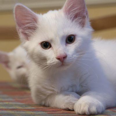 Kuvan etualalla valkoinen kissa makoilee ja katsoo suoraan kameraan.
