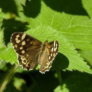 Vad det är för fjärilar på bilderna? undrar Benita. SVAR: Till vänster är en kvickgräsfjäril. Till höger syns svartfläckiga glanssmygare, som hör till tjockhuvudfjärilarna.