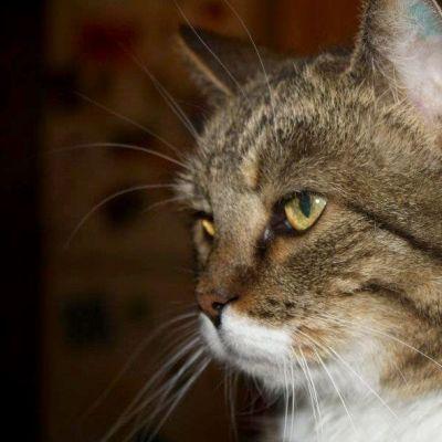 Doris-kissa lähikuvassa.