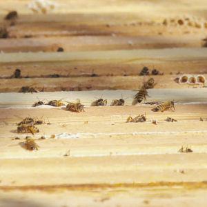 Apiarium med bin, det vill säga trälåda med flera ramar man kan lyfta upp. Bin krälar omkring på lådans yta.