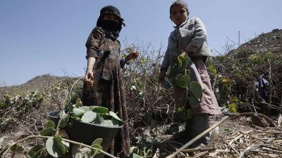 Barn bidrar till matinförskaffning i det svältdrabbade Jemen. 13.2.2021