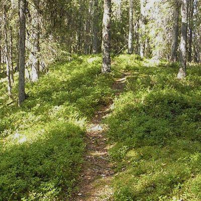 Vihreä metsä mustikkavarvikkoa ja polku keskellä