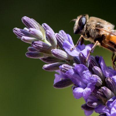 Mehiläinen laventelinkukassa.
