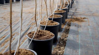 Vadelman versoja kasvustunnelissa