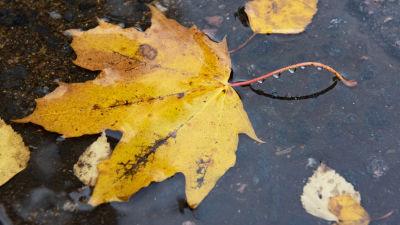 Gula och regnvåta höstlöv i en vattenpöl på asfalt.