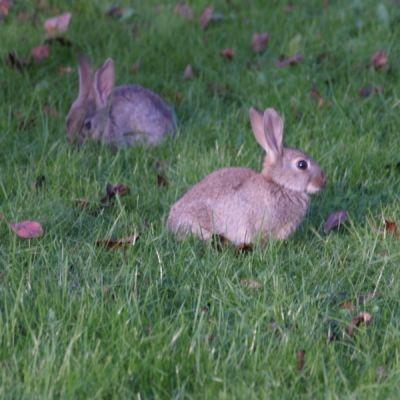 Kaniner på gräsmatta