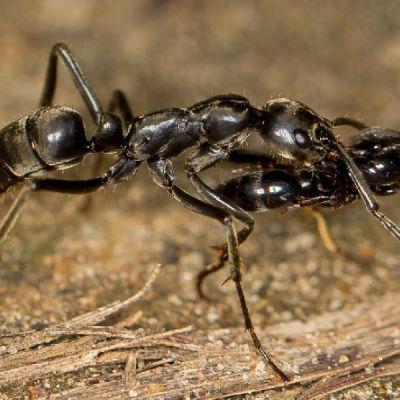 Musta muurahainen kantaa toista suussaan.