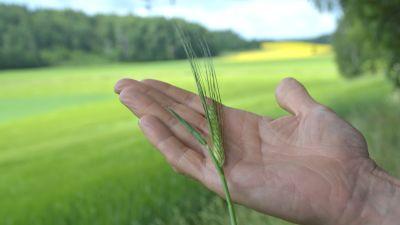 Ett strå av korn i en hand.