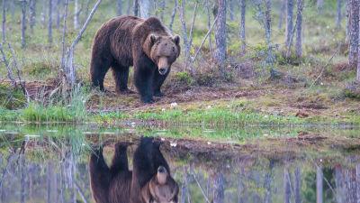 En brunbjörn står vid en skogstjärn och i tjärnen syns en spegelbild av björnen.