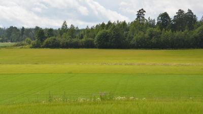 Åker som har såtts i två olika repriser, där är den ena sidan grönare än den andra.
