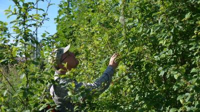En man i skärmmössa och glasögon inspekterar en häggbuske.