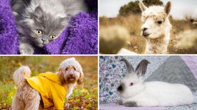 Collage med fyra bilder av en katt, hund, kanin och alpacka.