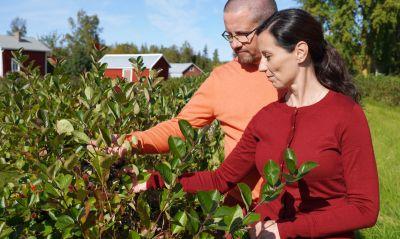 En man och en kvinna som står och inspekterar en häck med aronia.