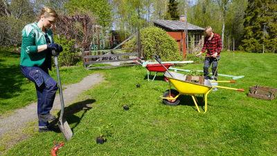 Två personer som står med spadar och måttar ut var de ska börja gräva en hallonrabatt i en gräsmatta. Små hallonplantor står utradade på gräset och två skottkärror står i närheten.