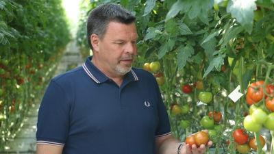 En man med blå pikétröja står i ett växthus och håller i ett par tomater.