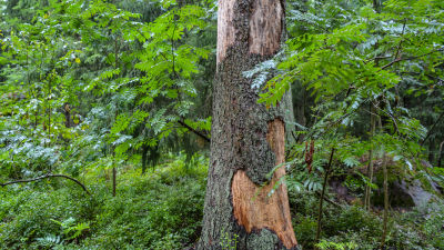 Trädstam i Ruxskogen i Sibbo.