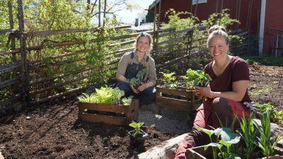 Två kvinnor, Lena Gillberg och Elin Skagersten-Ström, sitter på marken i Strömsös trädgård och håller plantor i händerna.
