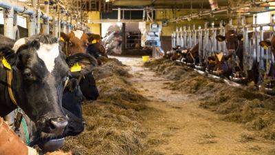 Korna i ladugården
