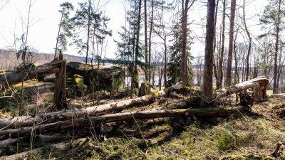 Trädstammar som storm har fällt.