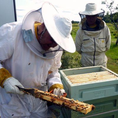 Mehiläistarhaajat tarkastelevat hunajakakkua.
