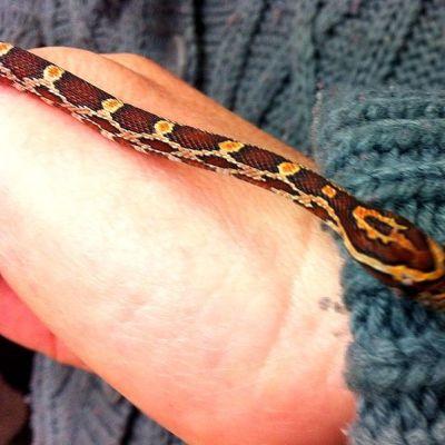 Puntti käärme, viljakäärme