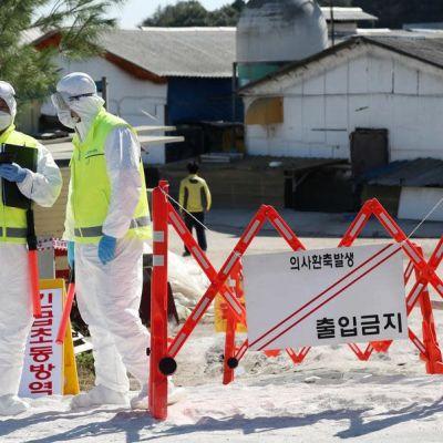Viranomaiset valvoivat syyskuussa karanteeniin asetettua sikatilaa  Gimpossa, Etelä-Koreassa.