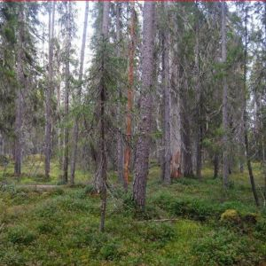 Vanhoja ja nuoria kuusipuita sammalpeitteisessä metsässä