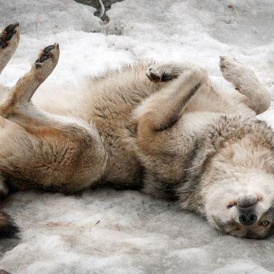 Susi makaa lumessa.