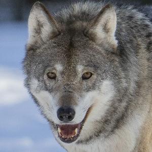 en varg i vinterlandskap