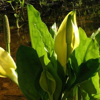 Keltamajavankaali kukkii