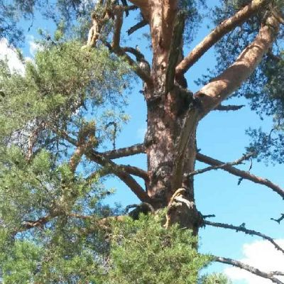 Vanha ja suuri mänty rauhoitetaan luonnonmuistomerkiksi Iisalmessa.
