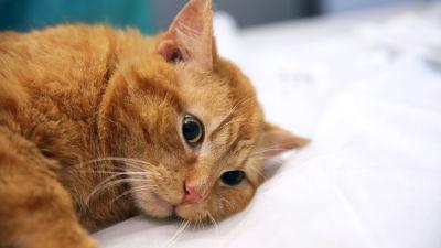 Rauhoitettu, mikrosirun saanut kissa eläinlääkärin pöydällä.