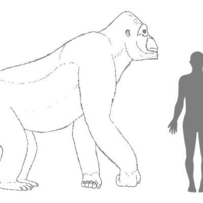 Piirros, jossa neljällä jalalla kävelevä apina on ainakin viisi kertaa ihmishahmon kokoinen.