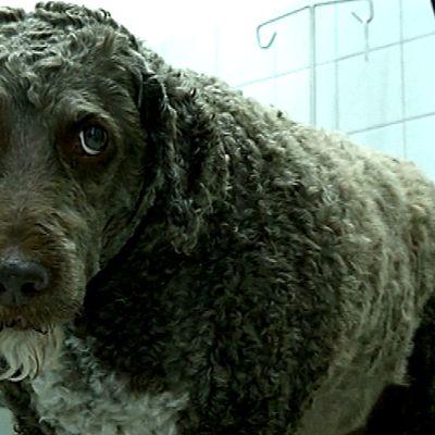Koira eläinlääkärin vastaanotolla.
