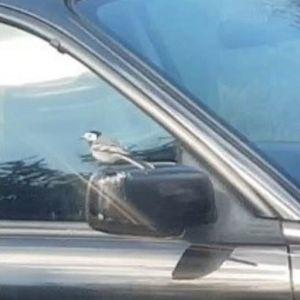Två närbilder på en bils sidospegel och framfönster med en sädesärla som sitter på spegeln och fönsterkanten
