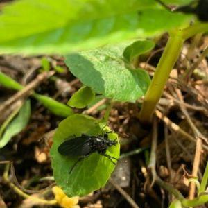 Tre bilder på grön växt med svarta skalbaggar.