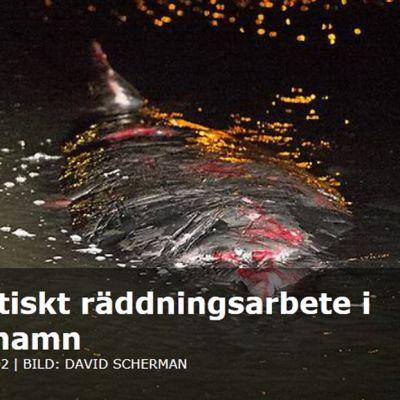 Kuvakaappaus Göteborgs Posten -lehden nettisivuilta uutisesta, joka käsittelee valasta.
