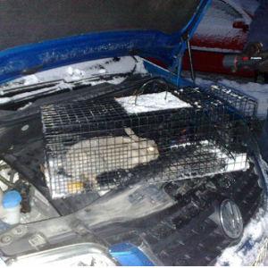 Jägare Hannu Luoto fångade en kanin i en bil vintern 10/11